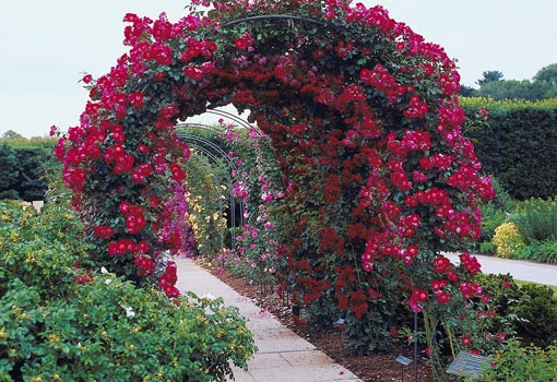 Pergola with climbing roses